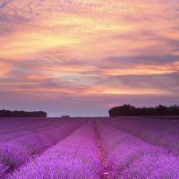 4 Haute provence Lavender in provence V2